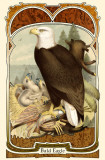 Bald Eagle Masterprint
