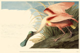 Roseate Spoonbill Reproduction image originale
