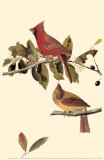 Northern Cardinal Masterprint