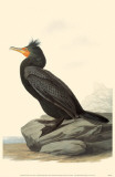 Double-Crested Cormorant Masterprint