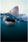 Shark Masterprint