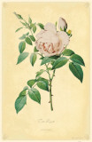 Tea Rose Masterprint