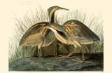 American Bittern Reproduction image originale