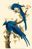 Magpie-Jay Masterprint