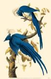 Magpie-Jay Masterprint