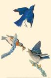 Eastern Bluebird Masterprint