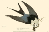 American Swallow-Tailed Kite Masterprint