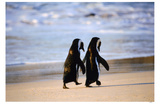 African Penguins Masterprint