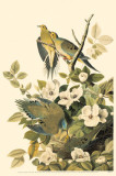 Mourning Dove Masterprint