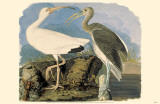 Ibis blanc Reproduction image originale