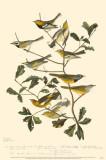Warblers Masterprint
