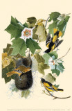 Northern Oriole Masterprint
