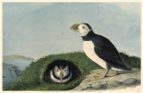 Atlantic Puffin Masterprint
