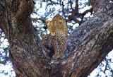 Leopard in Tree Masterprint