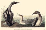 Arctic Loon Reproduction image originale