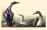 Arctic Loon Masterprint