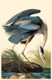 Great Blue Heron Masterprint