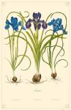 Irises Flowers Masterprint
