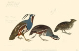 Mountain Quail Masterprint