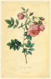 Turnip Rose Masterprint