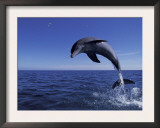 Bottlenose Dolphin Leaping, Bahamas Art by John Downer
