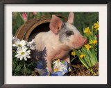 Domestic Piglet in Barrel, Mixed-Breed Art by Lynn M. Stone