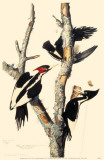 Ivory-Billed Woodpecker Reproduction image originale