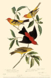 Western Tanager Masterprint