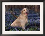 Golden Retriever (Canis Familiaris) Among Bluebells, USA Prints by Lynn M. Stone