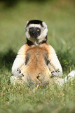 Lemur in Meditative Position Masterprint