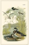 Ducks Masterprint