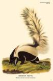 Hooded Skunk Masterprint