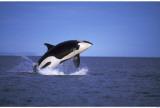 Orca Reprodukcja arcydzieła