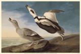 Labrodor Duck Masterprint