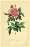 Royal French Rose Masterprint