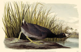 American Coot Reproduction image originale
