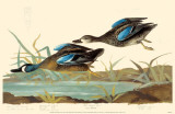 Blue-Winged Teal Masterprint