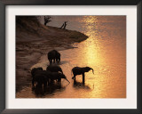 African Elephants Drinking in Chobe River at Sunset, Botswana, Southern Africa Posters by Tony Heald