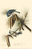 Tufted Titmouse Masterprint