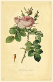 Perfumers' Rose Masterprint