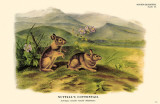 Nuttall's Cottontail Masterprint