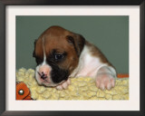Boxer Puppy, USA Prints by Lynn M. Stone
