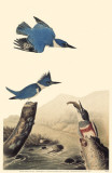 Belted Kingfisher Masterprint