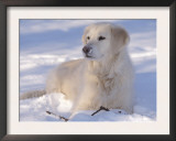Golden Retriever Lying in Snow, USA Posters by Lynn M. Stone