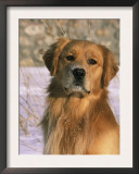 Golden Retriever in Snow (Canis Familiaris) Illinois, USA Posters by Lynn M. Stone