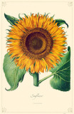 Sunflower Flowers Masterprint