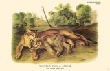 Mountain Lion or Cougar Masterprint