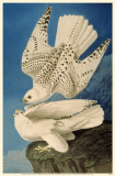 Gyrfalcon Masterprint