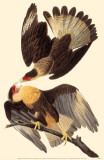 Crested Caracara Masterprint