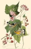 Magnolia Warbler Masterprint